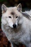 White wolf. Wolf in British Columbia Stock Photo