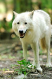 White wolf. Big white wolf in forest Stock Image