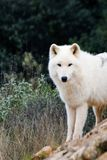 White Wolf. Wild white wolf in Spain park stock photos