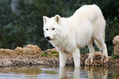 White wolf. In wildlife in mountain stock photo