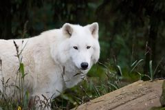 White wolf. A white wolf ( arctic wolf ) staring at you Royalty Free Stock Image