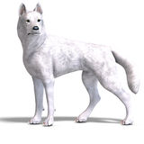 White Wolf. 3D rendering with clipping path and Royalty Free Stock Photos