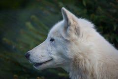 Free White Wolf Royalty Free Stock Image - 83530876