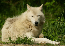 White wolf. Long legged white wolf spotted up mountain laying in the sun from a good distance Royalty Free Stock Image