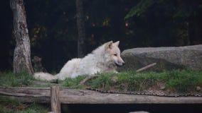 White wolf in amnéville zoo stock photos