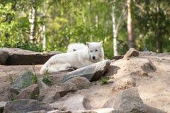 White Wolf Stock Photos