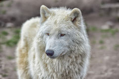 White wolf Royalty Free Stock Photography