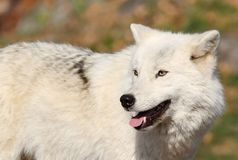 White wolf in autumn Royalty Free Stock Photos