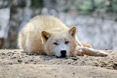 White Wolf Canis Lupus Arctos Arctic Portrait Stock Photo. White Wolf Canis Lupus Arctos Arctic Lying on Stone and Looking Portrait Stock Photo royalty free stock photo