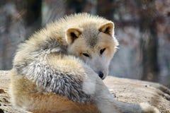 White Wolf Canis Lupus Arctos Arctic Portrait Stock Photo. White Wolf Canis Lupus Arctos Arctic Lying on Stone n Portrait Stock Photo stock photos