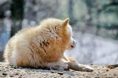 White Wolf Canis Lupus Arctos Arctic Portrait Stock Photo. White Wolf Canis Lupus Arctos Arctic Lying on Stone n Portrait Stock Photo royalty free stock images