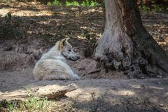 White wolf Canis lupus arctos resting by the tree.  stock images