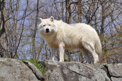 White wolf on cliff Stock Photography