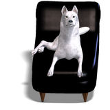 White Wolf on the couch Royalty Free Stock Image