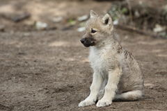 White wolf cub. The sitting white wolf juvenile on the soil Stock Photo