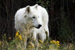 White Wolf Royalty Free Stock Photos