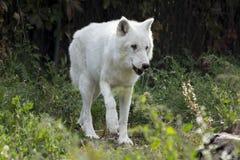 White Wolf Royalty Free Stock Photo