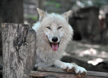 White Wolf. Detailed view of the White Wolf Royalty Free Stock Photos