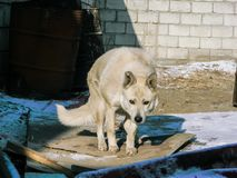 White wolf dog in cold winter royalty free stock photo