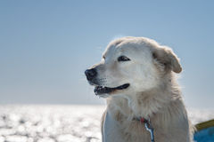 White wolf dog while looking at you Stock Image