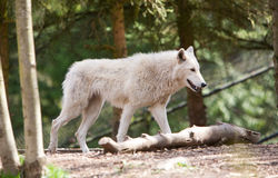 White Wolf Dtalking. A white wolf on the prowl in the woods during the day Royalty Free Stock Image