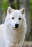 White wolf in forest stock image