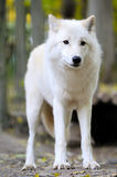 White wolf in forest stock photos
