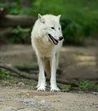White wolf in forest Royalty Free Stock Photo