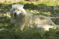White wolf on grass Stock Image