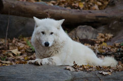 White Wolf Laying Down Royalty Free Stock Photography