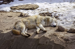 White wolf laying on the groun. D. Looks like killed by hunters Stock Photo