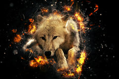 White wolf. Lies calmly and eases, fire illustration Royalty Free Stock Images