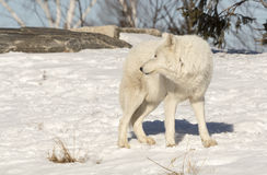 White Wolf Looking Back Behind HIm Royalty Free Stock Image