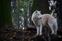 White wolf looking Stock Images