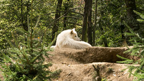 White wolf lying on the hill watching who disturbs him. Passing through the zoo I came across this exceptional animal – white wolf. He was lying on the royalty free stock photos