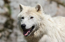 White wolf in nature Stock Photos