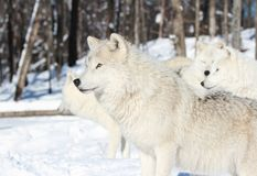 White wolf in nature Stock Images