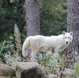 White wolf nature garden Woods. Flowers beautiful animal fur wild wildlife Royalty Free Stock Photos