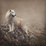 White wolf. At the night Stock Photos