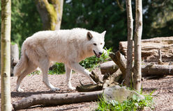 White Wolf on the Prowl. A white wolf on the prowl in the woods during the day Stock Photos