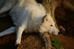 White wolf. Is relaxing. Photo was taken near the town Olomouc, Czech Republic Stock Images