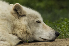 White wolf. Resting in the forest shade Royalty Free Stock Photo
