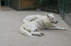 White wolf resting. White wolf rests very important and strong Royalty Free Stock Image