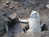 White wolf enjoying a rest on a sunny day royalty free stock image