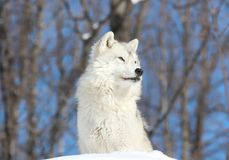 White wolf sitting Royalty Free Stock Photo