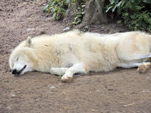 White wolf. A sleeping white wolf, which can not be fazed Royalty Free Stock Image