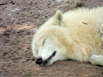 White wolf. A sleeping white wolf, which can not be fazed Stock Photo