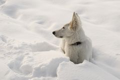 White wolf on the snow Stock Images