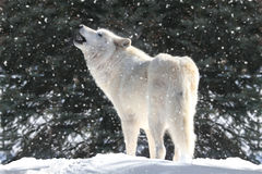 White Wolf In Snow. White Timber Wolf (Canis lupus) howling in a snow storm