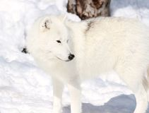 White wolf in snow Royalty Free Stock Photo